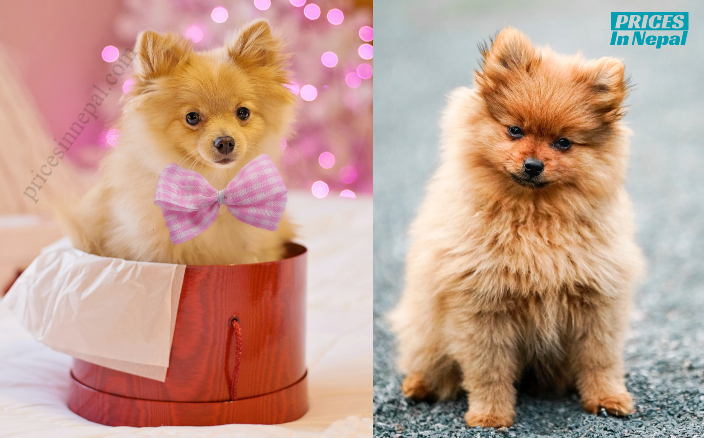 Pomeranian Dog Price in Nepal - prices in nepal
