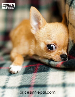 Chihuahua Price in Nepal - Buy Pure Breed Dog/Puppy