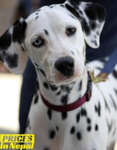 Dalmatian Price in Nepal - Buy Pure Breed Dog/Puppy