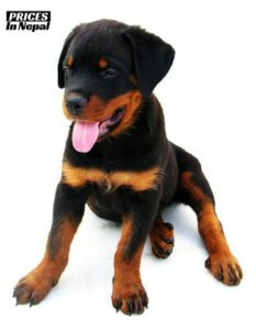 Rottweiler Price in Nepal - Buy Original Dog/Puppy Breed