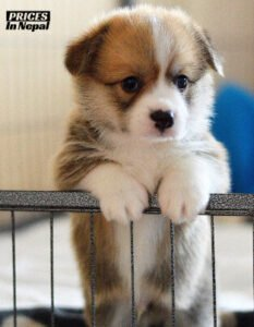 Pembroke Welsh Corgi Price in Nepal - Buy Pure Breed Dog/Puppy
