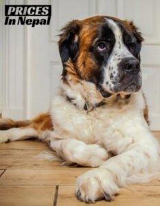 Saint Bernard Price in Nepal - Buy Pure breed Dog/Puppy