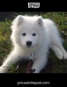 Samoyed Price in Nepal - Buy Dog/Puppy (Pure Breed)
