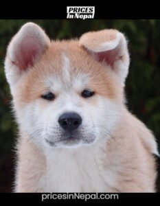 Akita Dog Price in Nepal - Buy Pure Breed Puppy/Dog