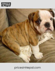Bulldog Price in Nepal - Buy Pure Breed Dog/Puppy