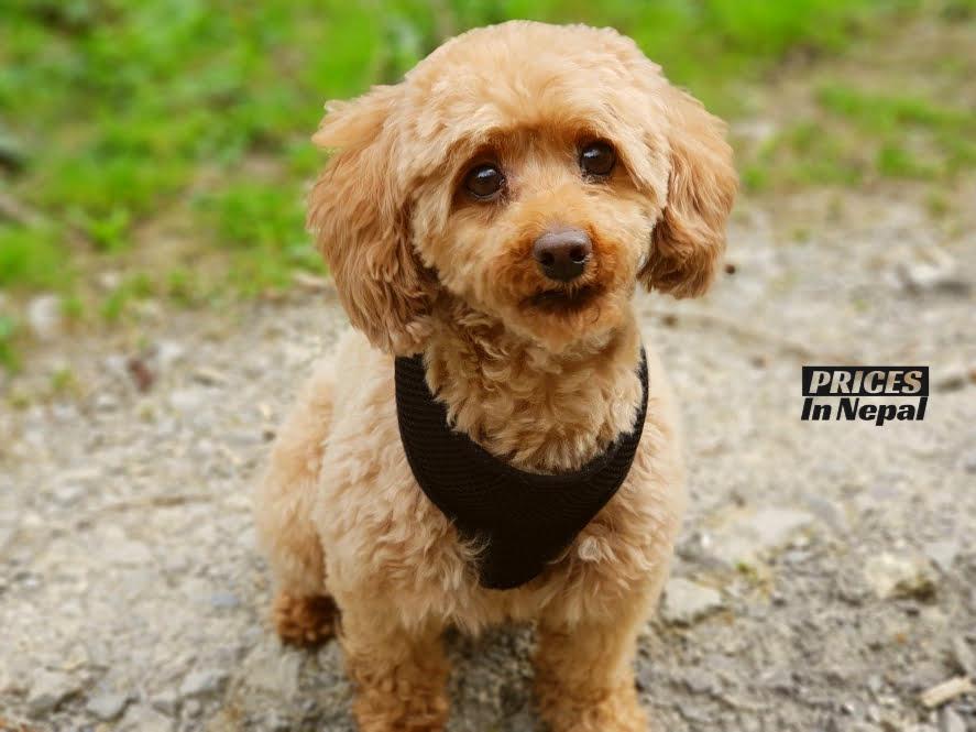 toy miniature Poodle pocket dog price