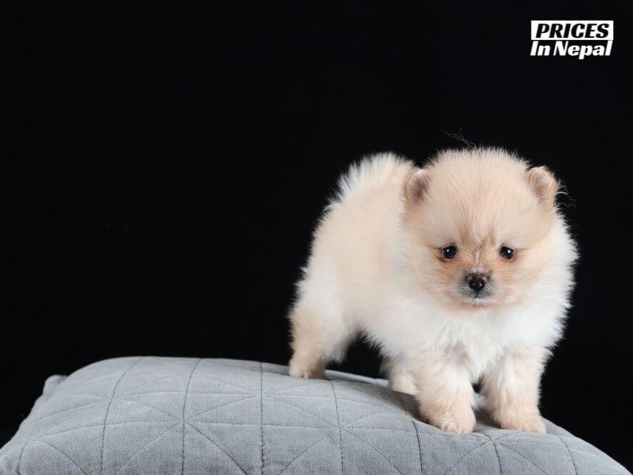 Pomeranian price in nepal and india - pocket dog price in nepal