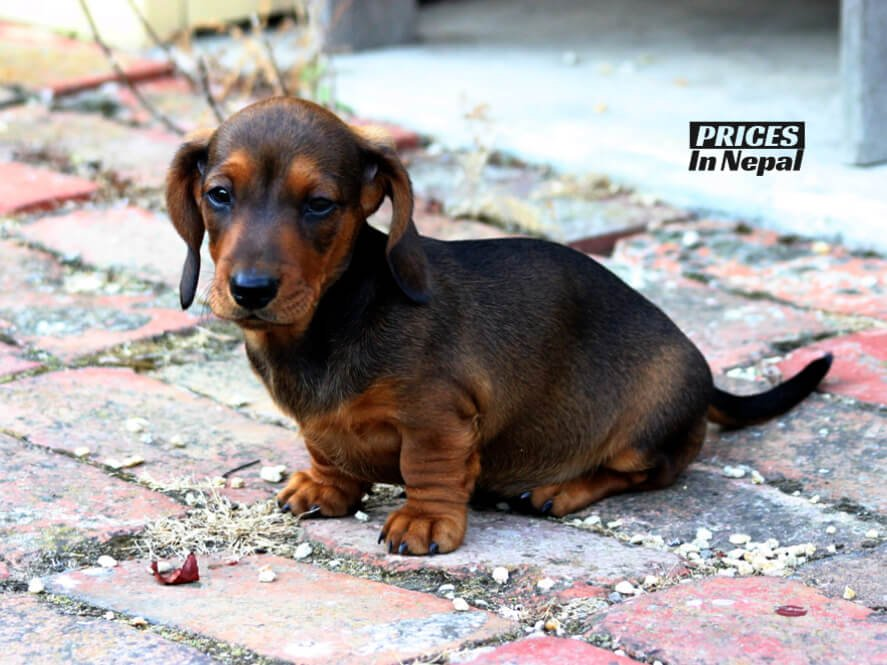 Dachshund dog price in nepal and india